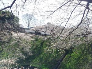 Sakura03