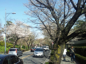 Sakura07